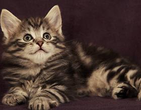 Сколько стоит котенок норвежской лесной кошки — примерные цены