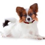 Сколько стоит собака папильон: особенности и расценки