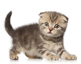 Сколько в среднем стоит шотландский вислоухий котенок?