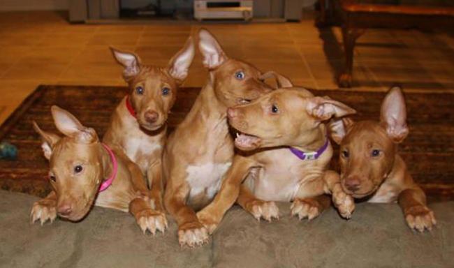 щенки фараоновой собаки