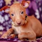Сколько стоит фараонова собака: особенности и расценки