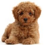 Сколько в среднем стоит щенок пуделя: особенности покупки и цена
