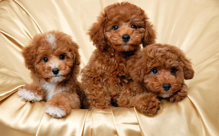 3 коричневых пуделя
