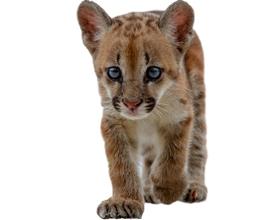 Сколько стоит котенок пумы: особенности и цена