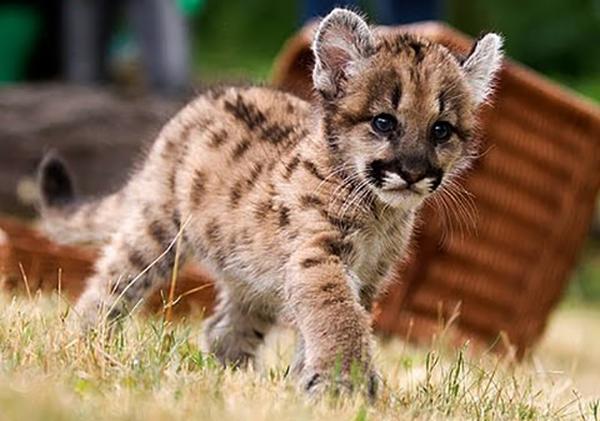 Котенок пумы гуляет