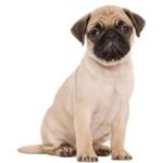 Сколько стоит щенок породы мопс и от чего зависит стоимость