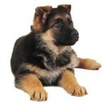 Сколько стоит щенок немецкой овчарки: особенности и цены