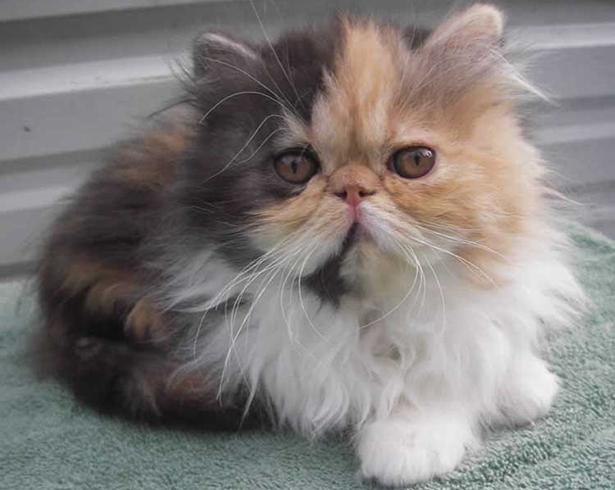 Разноцветный персидский котенок