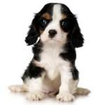 Сколько стоит щенок породы кавалер кинг чарльз спаниель?
