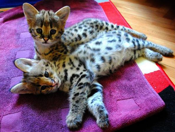 2 котенка саванны