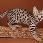 Сколько стоит кошка породы саванна — примерные цены