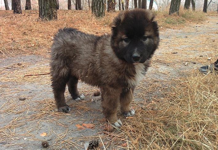 Милый щенок кавказкой овчарки