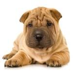 Cколько в среднем по России стоит щенок породы шарпей