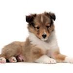 Сколько стоит щенок породы шелти и где его можно приобрести?