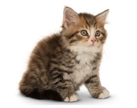 Сколько стоит сибирский котенок и от чего зависит стоимость?