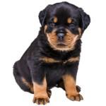 Сколько стоит щенок ротвейлера и от чего зависит цена