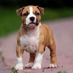 Сколько стоит щенок стаффордширского терьера и где его можно купить?