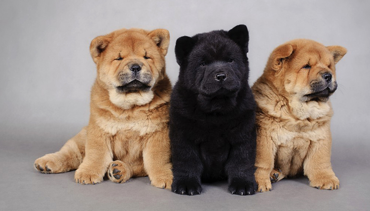 3 щенка чау-чау