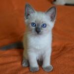 Сколько в среднем по России стоит тайская кошка и где ее купить?