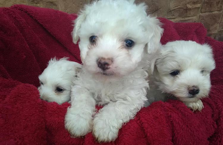 3 белых щенка пуделя