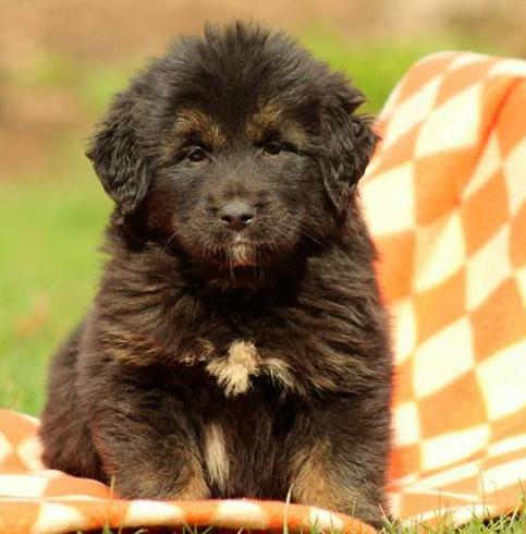 Темный щенок тибетского мастифа
