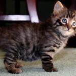 Сколько стоит тигровая кошка (тойгер): особенности и цены