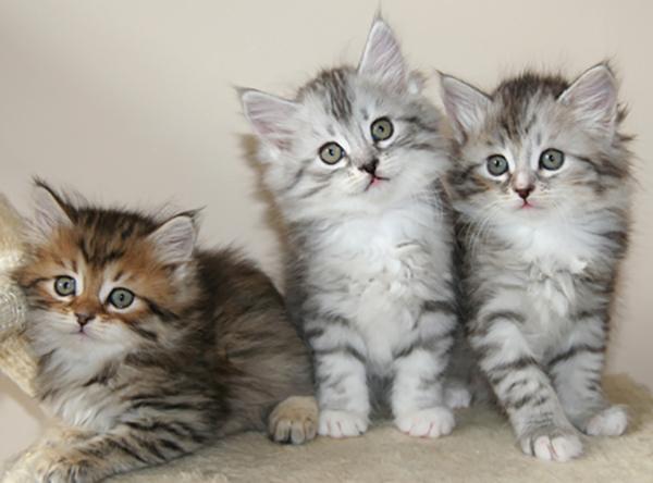 3 сибирских котенка