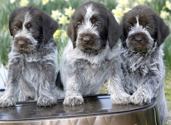 3 милых щенка дратхаара