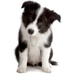 Сколько стоит щенок породы бордер-колли и где его можно купить