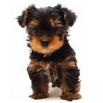 Сколько стоит щенок йоркширского терьера и от чего зависит цена?