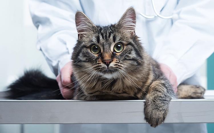 Прививка большому коту