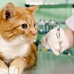Сколько в среднем стоит сделать укол кошке и от чего зависит стоимость?