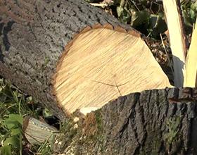 Сколько стоят услуги по срубу дерева на участке?