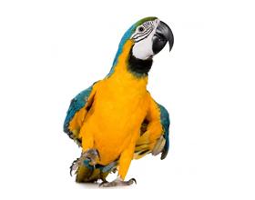 Сколько в среднем стоит попугай Ара