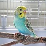 Сколько стоит волнистый попугай?