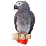 Попугай Жако: сколько стоит и где купить