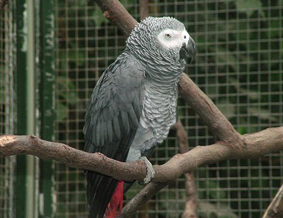 Попугай Жако на ветке