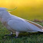 Сколько стоит попугай Какаду и где его купить