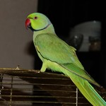 Ожереловый попугай: сколько стоит и где купить