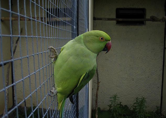 Ожереловый попугай на клетке