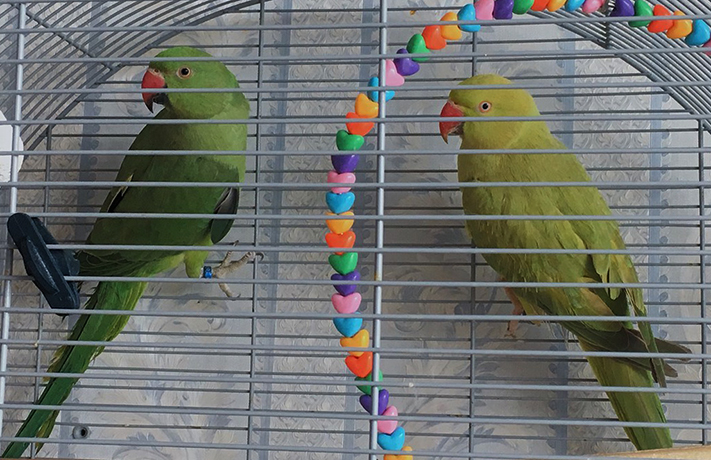 2 попугая