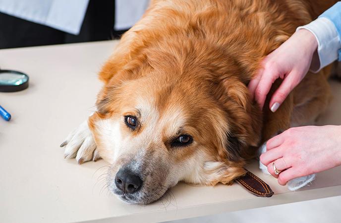 Перед родами у собаки