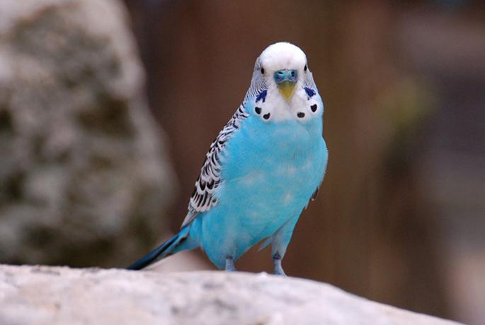 Милый волнистый попугай