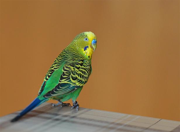 Волнистый попугай сидит