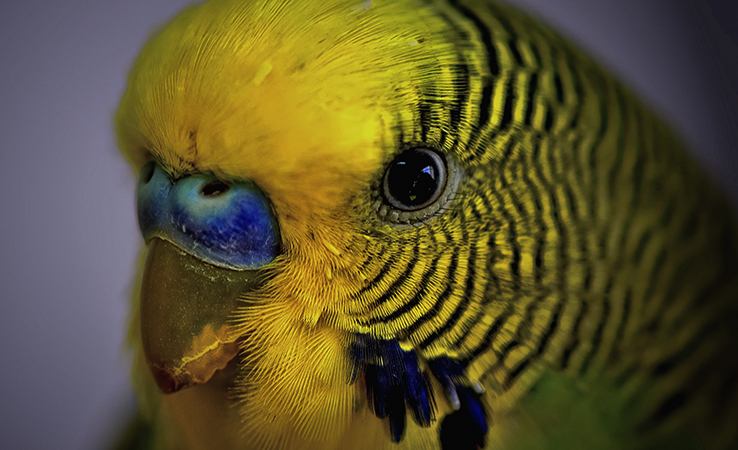 Лицо волнистого попугая