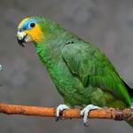 Сколько в среднем стоит попугай Амазон