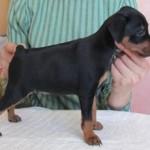 Сколько стоит купировать хвост и уши щенку?