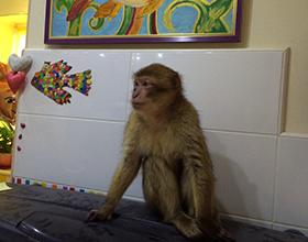 Сколько стоит домашняя обезьяна: виды и цены