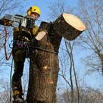 Сколько стоит спилить дерево на участке — примерная цена