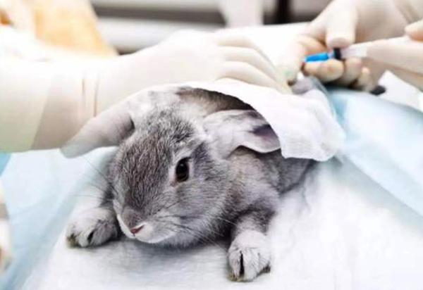 Кролик перед кастрацией